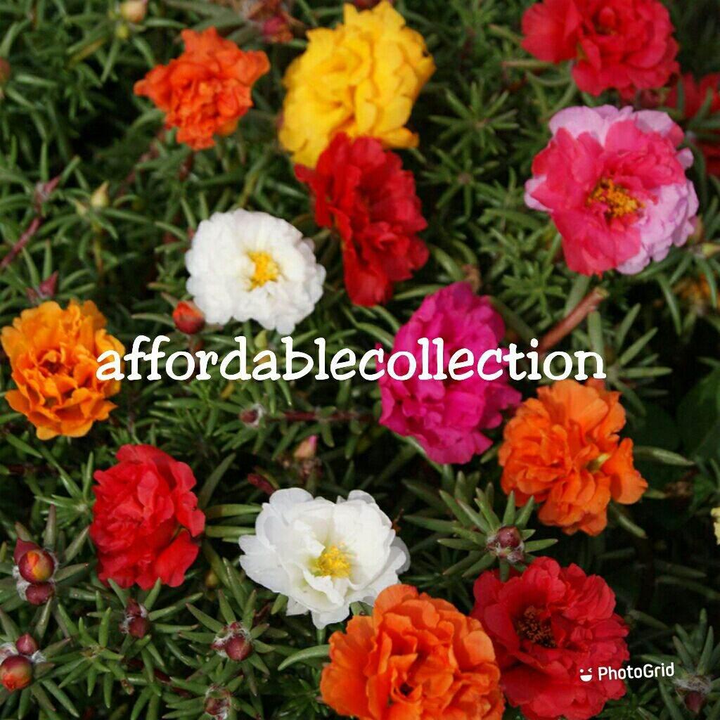 Japanese Moss Rose Mix Colour Flower Seed / Biji Benih Bunga Ros Jepun Pelbagai Warna